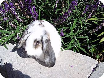 Lop-Eared Mix for adoption in Bonita, California - Nibbles