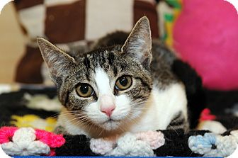Domestic Shorthair Kitten for adoption in Farmingdale, New York - Liberty
