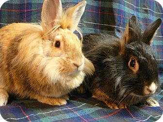 Lionhead Mix for adoption in Newport, Delaware - Noni And Zena