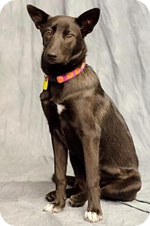 Border Collie/Australian Cattle Dog Mix Dog for adoption in Saskatoon, Saskatchewan - Kira