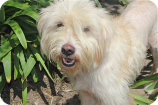 Wheaten Terrier Mix Dog for adoption in Norwalk, Connecticut - Dottie