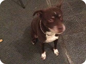 Boston Terrier/Labrador Retriever Mix Dog for adoption in Media, Pennsylvania - BOSTON