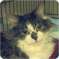 Adopt A Pet :: RagaMuffin - Plainville, MA