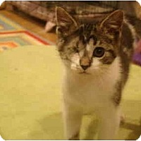 Adopt A Pet :: Pounce--PETSMART - Muncie, IN