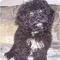 Adopt A Pet :: Tootsie - Chandler, IN