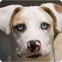 Adopt A Pet :: Petie - Gilbert, AZ