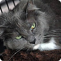 Maine Coon Cat for adoption in St. Louis, Missouri - Mya