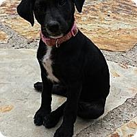 Adopt A Pet :: Macie - Staunton, VA