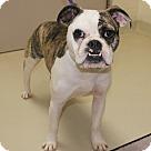Adopt A Pet :: 19721 - Boomer