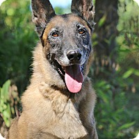 Belgian Malinois Dog for adoption in Nashville, Tennessee - Hannah