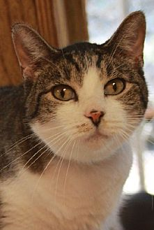 Domestic Shorthair Cat for adoption in Savannah, Missouri - Nash