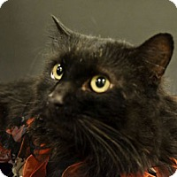 Domestic Shorthair Cat for adoption in Verdun, Quebec - Tit-Homme