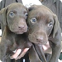 Adopt A Pet :: Chocolate Lab Puppies! - Manhattan, NY