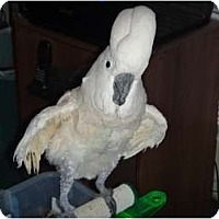 Cockatoo for adoption in Tampa, Florida - Champ