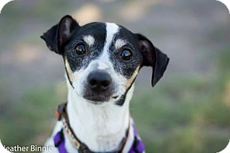 Jack Russell Terrier Mix Dog for adoption in Tucson, Arizona - Russell