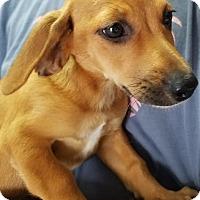 Adopt A Pet :: Greta in TN - Columbia, TN
