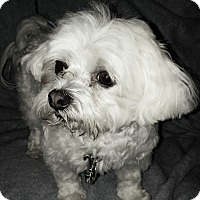 Maltese/Shih Tzu Mix Dog for adoption in Jacksonville, Florida - Ellie