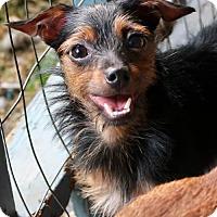 Adopt A Pet :: Dax - Towson, MD