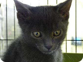 Domestic Shorthair Kitten for adoption in Millersville, Maryland - Charcoal