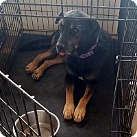 Shepherd (Unknown Type)/Hound (Unknown Type) Mix Dog for adoption in Tucson, Arizona - Gunner *PERFECT DOG?*