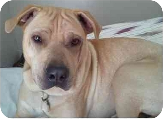american staffordshire terrier lab mix