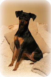 Miniature Pinscher Dog for adoption in Sinking Spring, Pennsylvania - Stella