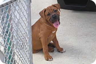 Boxer Mix Puppy for adoption in Minneola, Florida - Jake