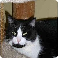 Adopt A Pet :: Suri - Lombard, IL