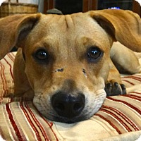 Adopt A Pet :: Ginger - Great with all dogs! - Yorba Linda, CA
