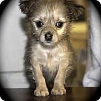Adopt A Pet :: Nibblet - La Habra Heights, CA
