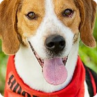 Beagle Dog for adoption in Miami, Florida - Bob the Beagle