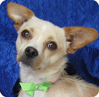 Chihuahua/Pekingese Mix Dog for adoption in Cuba, New York - Tarragon Gardener