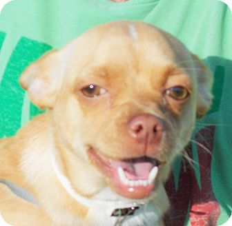 Chihuahua/Terrier (Unknown Type, Small) Mix Puppy for adoption in Plain City, Ohio - Luna