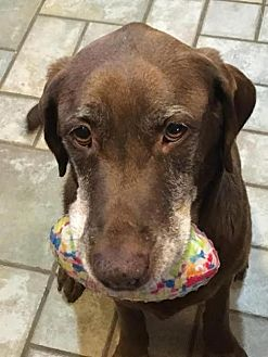 Labrador Retriever Mix Dog for adoption in Fishers, Indiana - Hailey