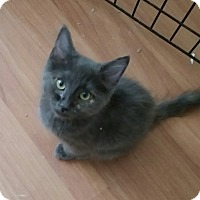 Russian Blue Kitten for adoption in temecula, California - Charcoal