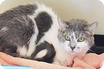 Domestic Shorthair Cat for adoption in Lincoln, Nebraska - Rose Dawson