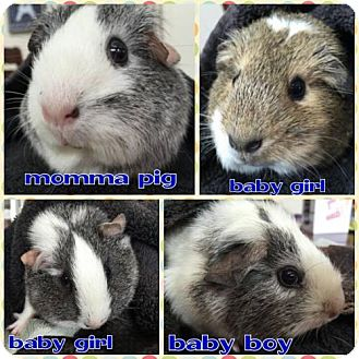Guinea Pig for adoption in Seahurst, Washington - Guinea Pig family