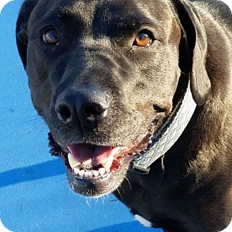 Labrador Retriever Mix Dog for adoption in Brattleboro, Vermont - Sue Ellen