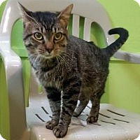 Domestic Shorthair Cat for adoption in Janesville, Wisconsin - Aragorn