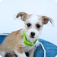 Adopt A Pet :: Dexter - Auburn, CA