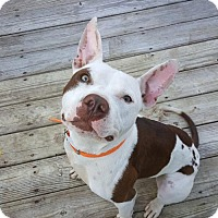 American Pit Bull Terrier/Australian Cattle Dog Mix Dog for adoption in Fulton, Missouri - Sparky - Indiana