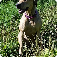 Rhodesian Ridgeback Mix Dog for adoption in Waterbury, Connecticut - Gemma (Amanda)