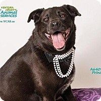 Labrador Retriever Mix Dog for adoption in Camarillo, California - PRINCESS