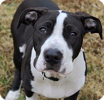 Pit Bull Terrier/Great Dane Mix Puppy for adoption in Columbus, Ohio - Joker