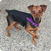 Adopt A Pet :: Shantilly - Auburn, WA