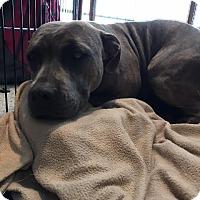Adopt A Pet :: Brindle AKA Pancake - Sayville, NY