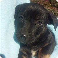 Adopt A Pet :: Shep x - El Cajon, CA