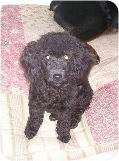 Toy Poodle Dog for adoption in Chandler, Indiana - Shadow