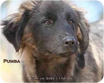 Golden Retriever Mix Dog for adoption in Tyler, Texas - AST-Pumba