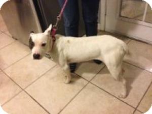 Bull Terrier/American Pit Bull Terrier Mix Dog for adoption in Las Vegas, Nevada - Olive